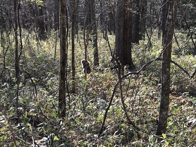 光徳小屋近くに野生の猿発見